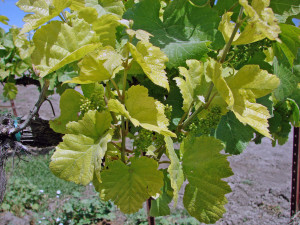 Young shoots displaying the creamy chlorosis sympotoms of iron deficiency in Pinot gris. (Source: Progressive Viticulture, LLC ©)