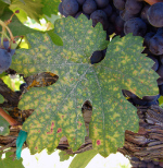 Micronutrient Management in Vineyards