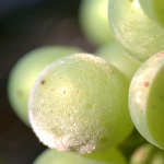 Control of Overwintering Structures of Grapevine Pathogens