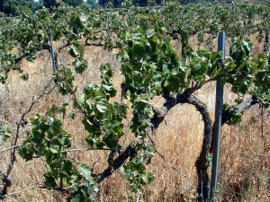 An unmanaged vineyard. (Photo source: Progressive Viticulture©)