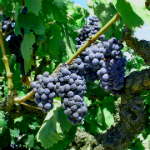 VARIETY FOCUS:  OPTIMIZING ZINFANDEL FOR RED WINE PRODUCTION