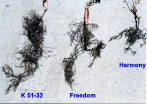 Fig. 1. Representative root systems of three rootstocks grown in pots with a Delhi sand vineyard soil infested with root knot and ectoparasitic nematodes Photo source: Progressive Viticulture, LLC ©