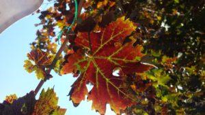 Photo: Charlie Starr. Leafroll 3 Virus Symptoms.