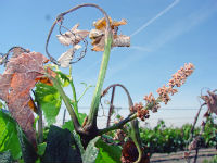 FROST MANAGEMENT STRATEGIES FOR VINEYARDS