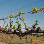 SOME COMMON VITICULTURAL BAND-AIDS