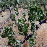 NATURAL LAWS AND VINEYARD MANAGEMENT
