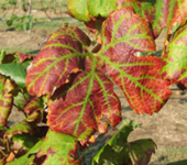 IDENTIFICATION OF NUTRIENT DEFICIENCIES FROM LEAF SYMPTOMS