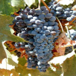 THE VALUE OF VITICULTURAL RESEARCH