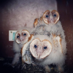 NOW'S THE TIME: BARN OWL BOX MAINTENANCE