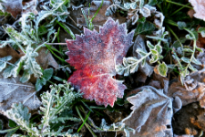 FROST, COVER CROPS & ICE NUCLEATING BACTERIA