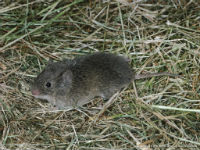 GOT VOLES? PERHAPS ANTHRAQUINONE IS THE ANSWER