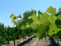 THE ECONOMICS OF WATER MANAGEMENT IN WINEGRAPE VINEYARDS