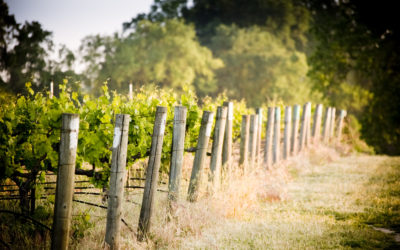 OPPORTUNITIES FOR NEW METHODS OF GENETIC IMPROVEMENT OF GRAPEVINES