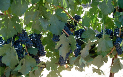 QUANTITY, INTENSITY, AND TIMING IN THE MANAGEMENT OF VINEYARD RESOURCES