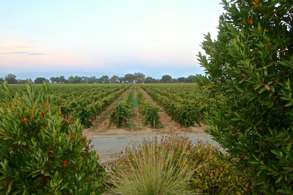 WHY HALF OF LODI RULES SUSTAINABLE VINEYARDS ARE NOW LOCATED OUTSIDE OF LODI