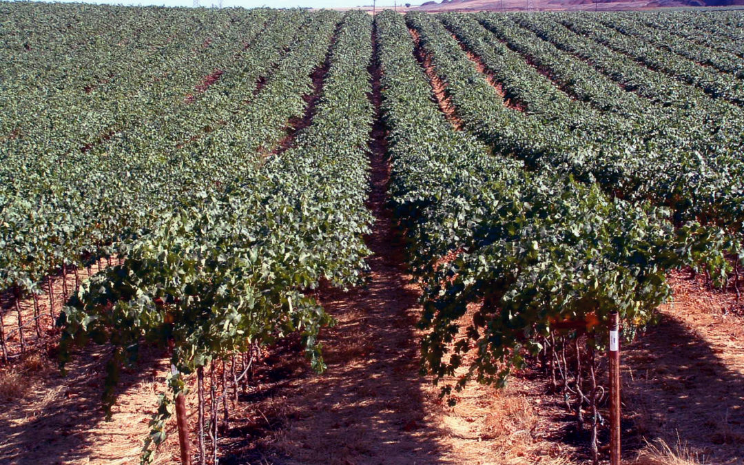 VINE GROWTH CAPACITY AND HORIZONTALLY DIVIDED VINES