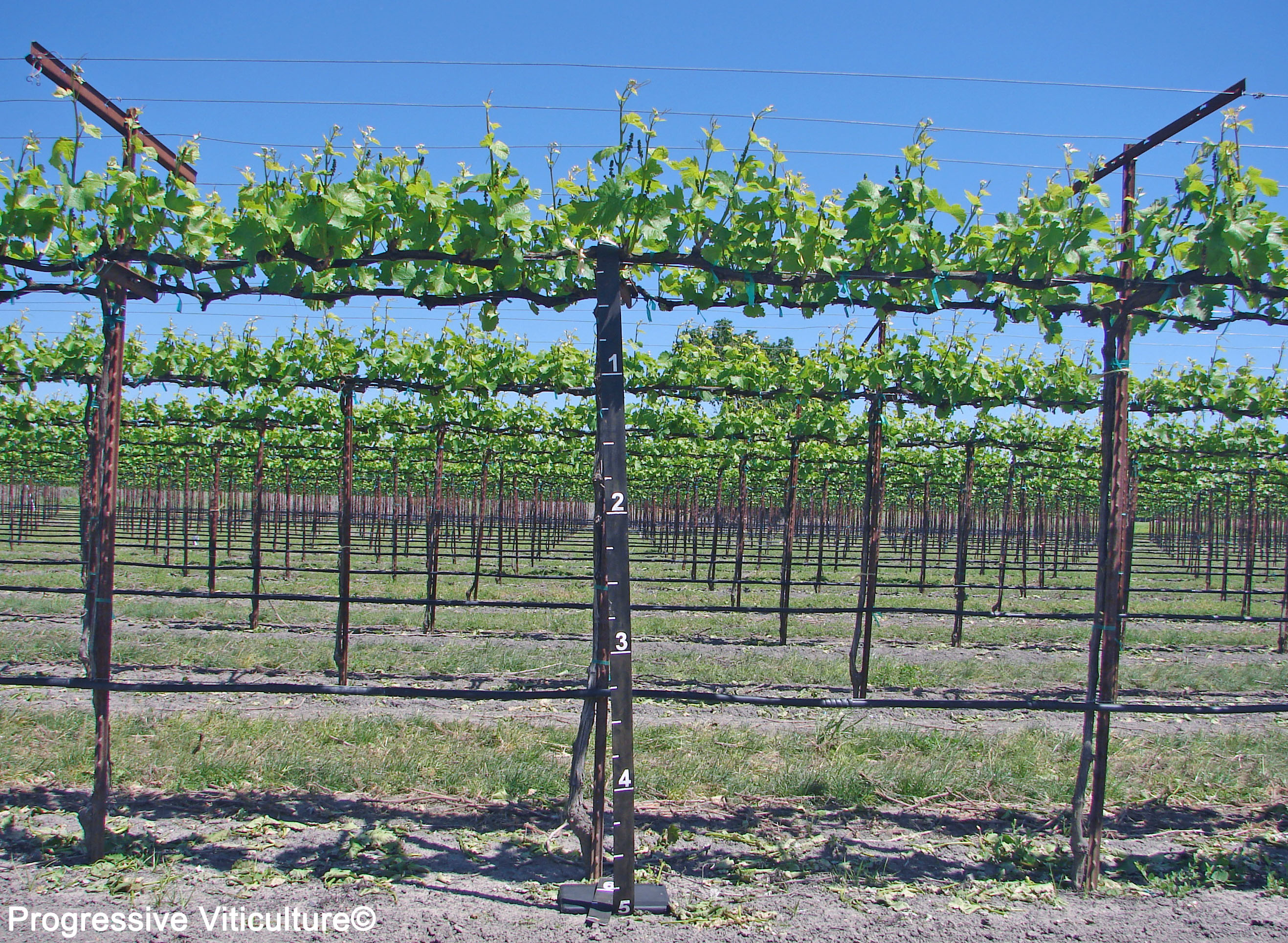 Vine Growth Capacity And Horizontally Divided Vines Lodi Growers