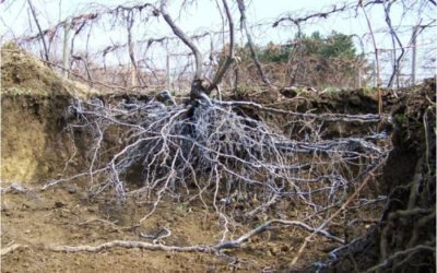 HOW GRAPEVINE ROOTS GROW
