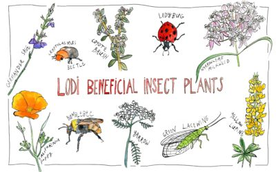 HANDS-ON VINEYARD WORKSHOP ON LODI BENEFICIAL INSECT PLANTS.