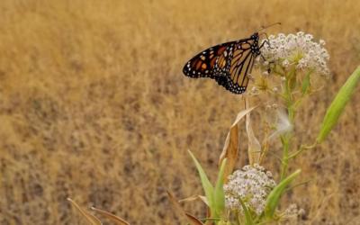 XERCES MONARCH & POLLINATOR PLANT KITS: CALIFORNIA.