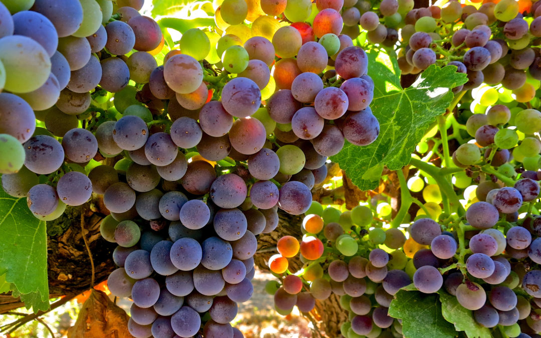 JULY VERAISON AND THE ULTIMATE BEAUTY OF OLD TO ANCIENT VINES