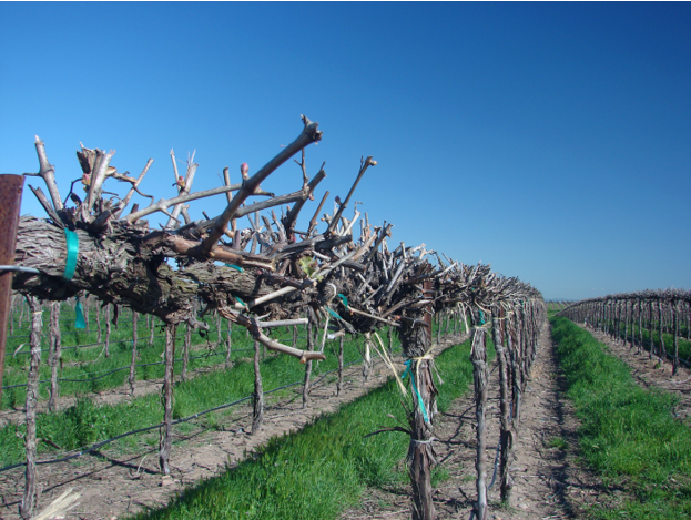 FARMING WINEGRAPES FOR PRODUCTION
