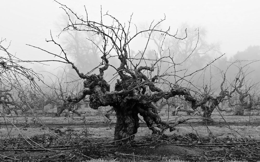 """SAVE THE OLD VINES"" MARKETING CAMPAIGN HIGHLIGHTS LODI'S HERITAGE PLANTINGS & OLD VINE WINES"
