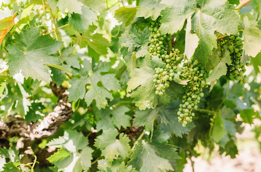 CALIFORNIA VITICULTURE: ADOPTION, DISCOVERY, & INNOVATION