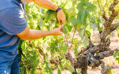 CHANGING VARIETIES IN VINEYARDS