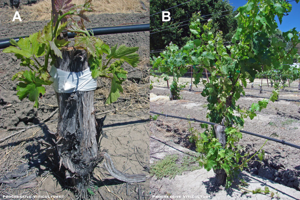 Figure 3. Opposing T-bud grafts on a mature Petite Sirah trunk (A) shortly after successful Cabernet Sauvignon shoots emerged from grafted buds and (B) after trunks and partial cordons were trained (sucker removal is needed). (Photo Source: Progressive Viticulture©)