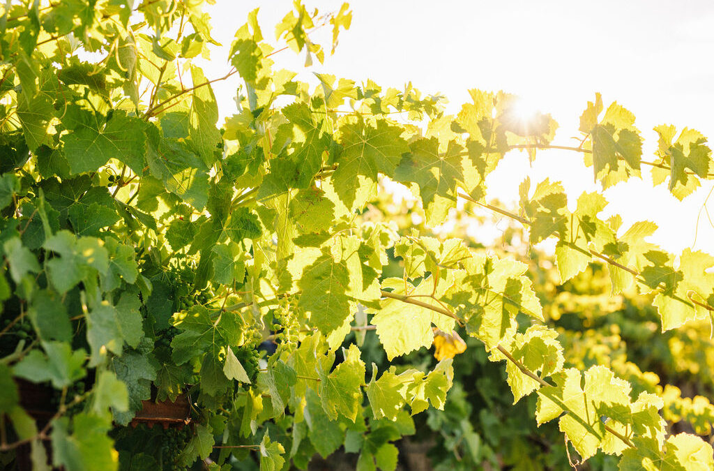 THE PERENNIAL NATURE OF GRAPEVINES IN VINEYARD MANAGEMENT