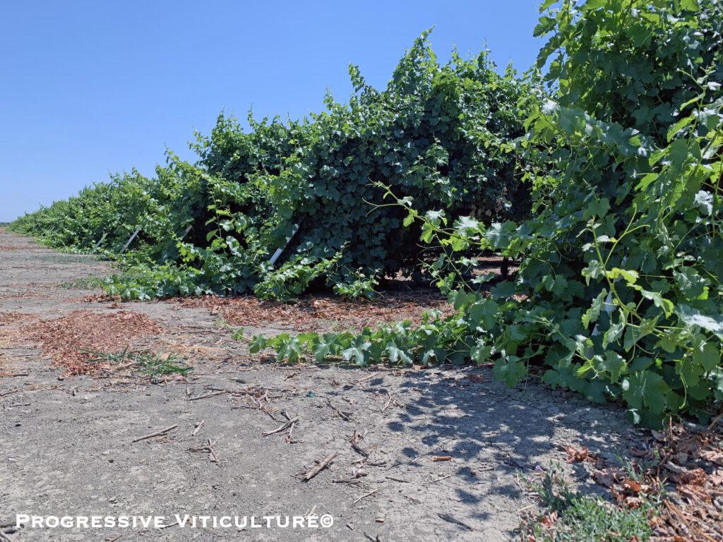 Figure 2. Late season unrestricted grapevine shoot growth (Sauvignon blanc). (Progressive Viticulture©)