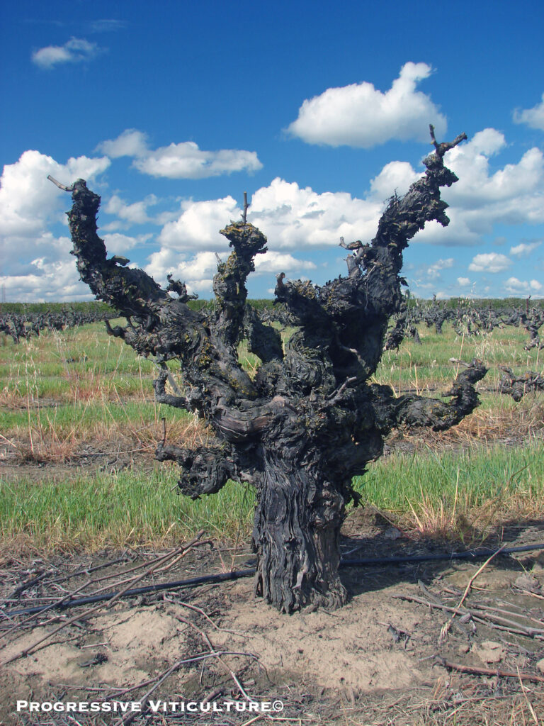 Figure 3. A head-trained vine with a thick trunk and arms, and correspondingly, a comparatively high capacity for growth. (Progressive Viticulture©)