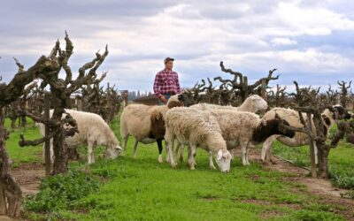 A LODI BASED SHEEP COMPANY BEGINS WORK ON SUSTAINABLE VINEYARD FARMING