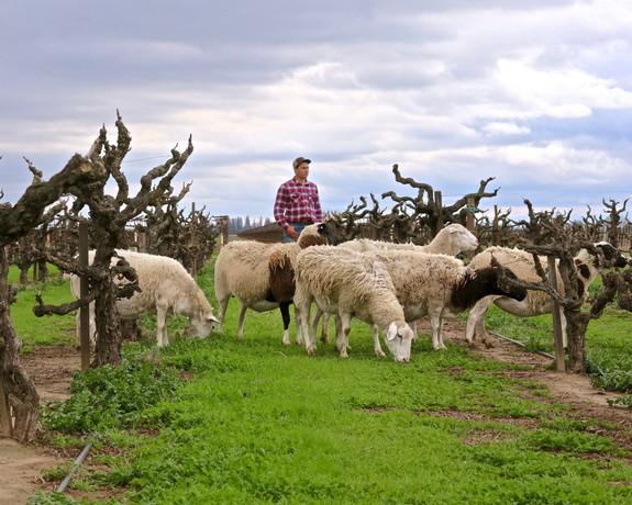 A LODI BASED SHEEP COMPANY BEGINS WORK ON SUSTAINABLE VINEYARD FARMING