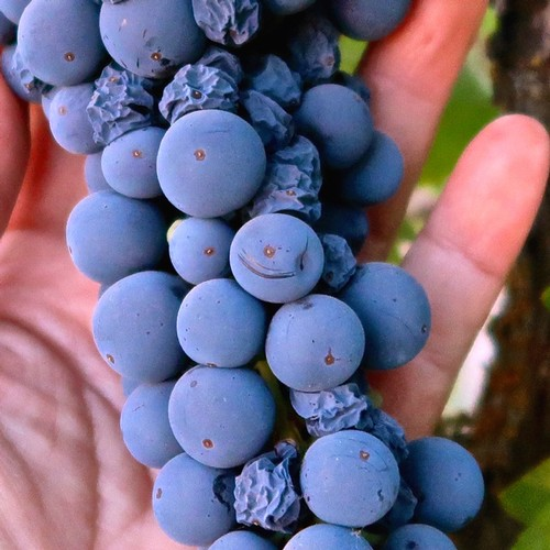 THE USE OF VARIETAL AS A TERM, ITS HISTORY AND PASSING PRACTICALITY