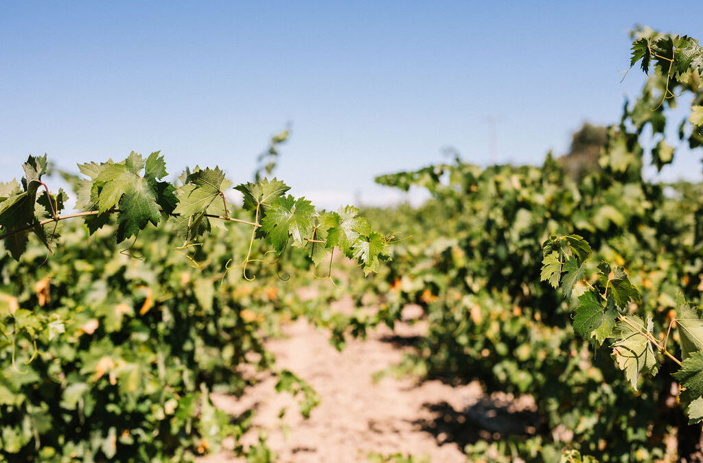 THE SEASONALITY OF VINEYARD MINERAL NUTRIENT MANAGEMENT