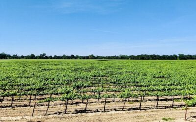 LODI GROWERS REPORT VINE GROWTH PROBLEMS FROM FALL 2020 COLD DAMAGE