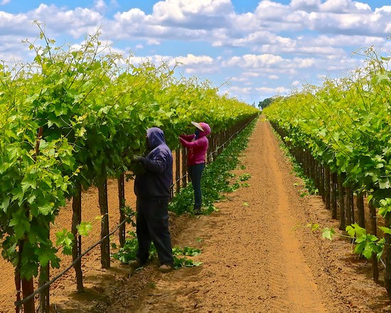 LODI GRAPEVINES DURING THE MERRY, MERRY MONTH OF MAY