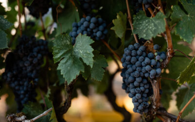 INTEGRATED BUNCH ROT MANAGEMENT FOR WINEGRAPE VINEYARDS