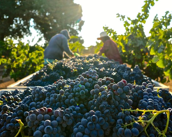 THREE GRAPES OF THE MOMENT DURING LODI'S 2021 HARVEST